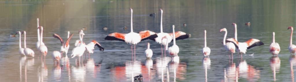 Flamencos abriendo las alas en Navaseca