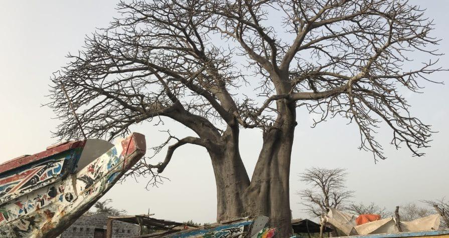Baobad de Senegal